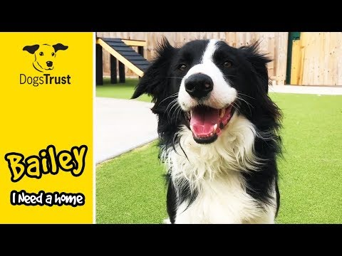 Bailey is a Sweet Border Collie Who Loves Playing with His Tennis Ball! | Dogs Trust Evesham