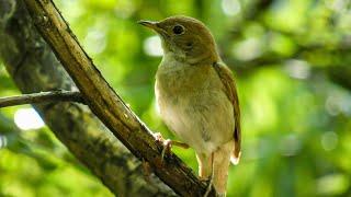 Download 1. Privighetoare roscata, common nightingale (Luscinia megarhynchos)