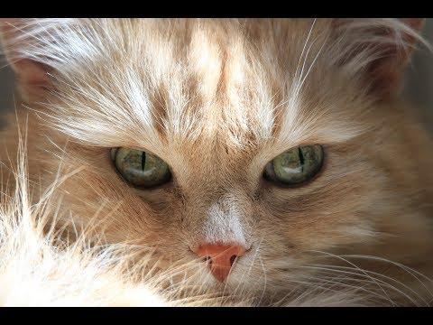 Top 5 Siberian Cat Videos 2020 Animal story