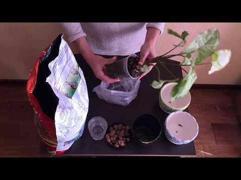 Сингониум / Пересадка / Комнатные растения