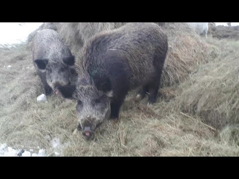 Дикие кабаны и домашние свиньи. Wild Boars And Domestic Pigs