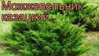 Можжевельник казацкий (juniperus sabina) ???? можжевельник обзор: как сажать саженцы можжевельника
