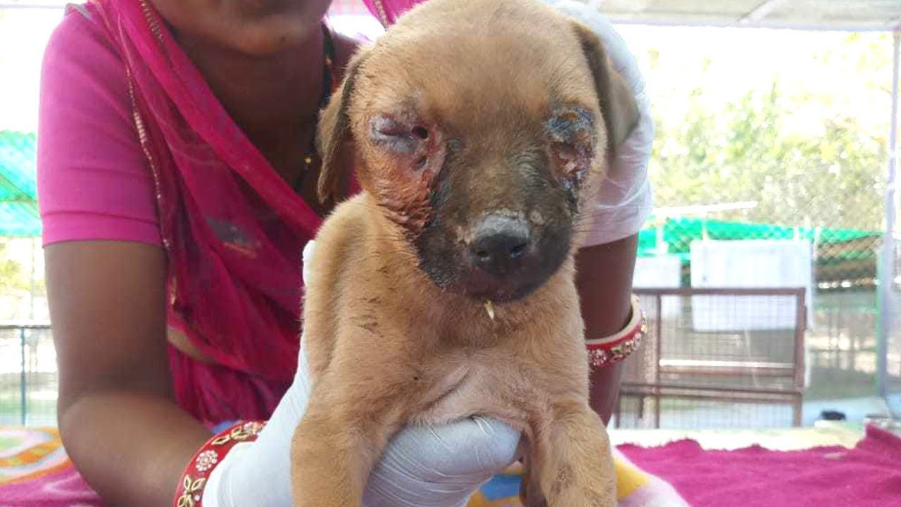 Puppy nearly blinded with maggots in his eyes rescued--watch til end