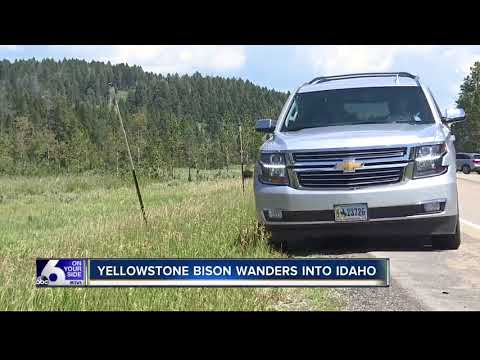 Yellowstone bison wanders into Idaho