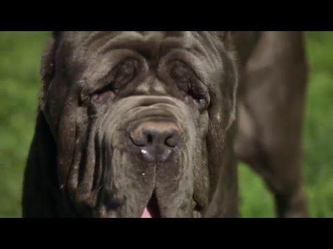 NEAPOLITAN MASTIFF: A DOG LOVER'S INTRODUCTION
