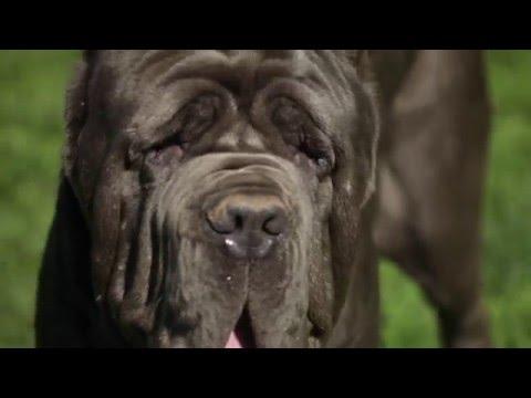NEAPOLITAN MASTIFF: A DOG LOVER'S INTRODUCTION