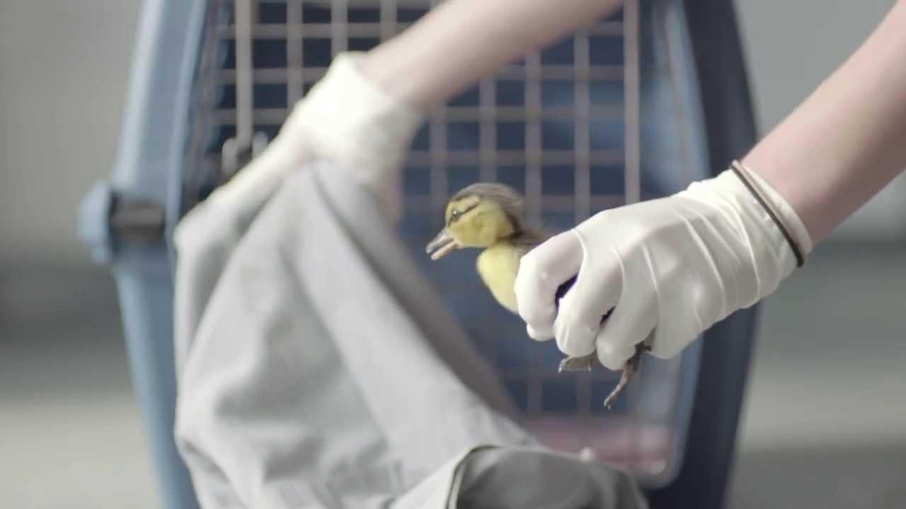 Duck gratuit Dawn