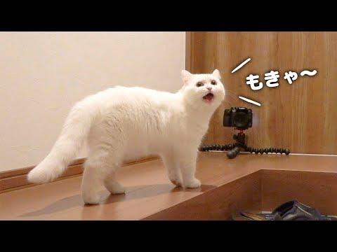 【BGMなし】あまり鳴かないポムさんのへんてこ鳴き声特集!