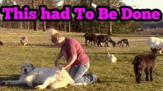 How To Groom A Great Pyrenees Dog!