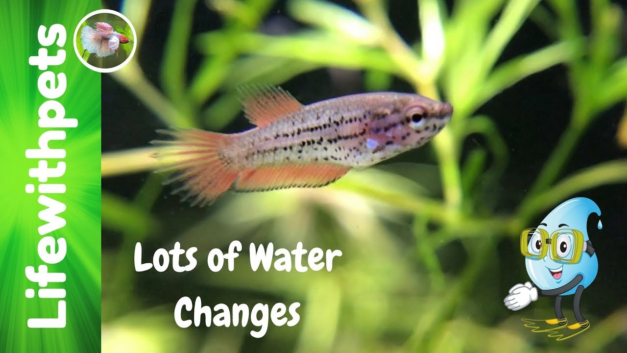 Betta Fish Fry Water Changes. (Lots of Water Changes) - YouTube