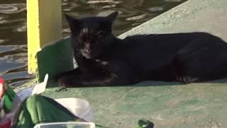Cats are fishermen Коты ловят рыбу