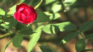 Tips from the PSL Botanical Gardens: Growing and Maintaining Roses