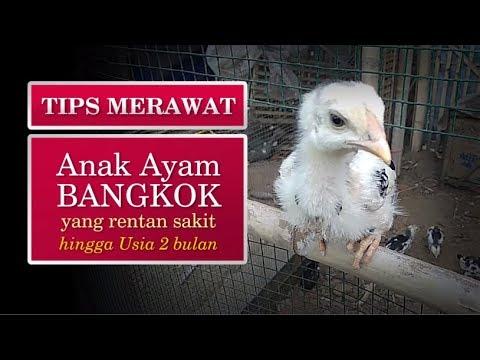 Tips Pakan Merawat Anak Ayam Bangkok Kampung Rentan Sakit