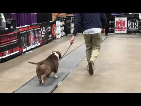 ABKC Allentown Peace, Love Bully Fest 2017.  Show 4 Best of Breed American Bully