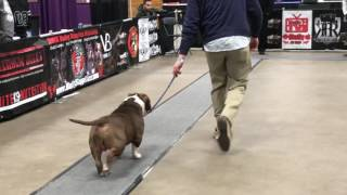 abkc allentown peace love bully fest 2017 show 4 best of breed american bully