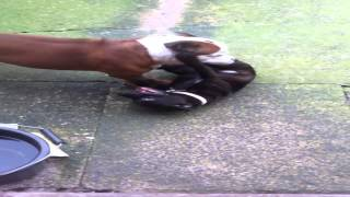 Staffordshire Bull Terrier Puppy & Dog Play Fighting ( Dog's Massive! Must Watch! )