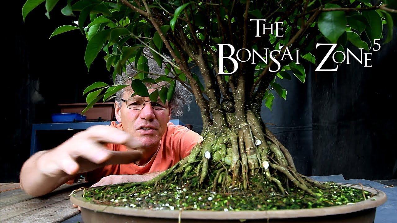 Ginseng Ficus Bonsai Work And Tree Updates The Bonsai Zone Sept 2018 Youtube