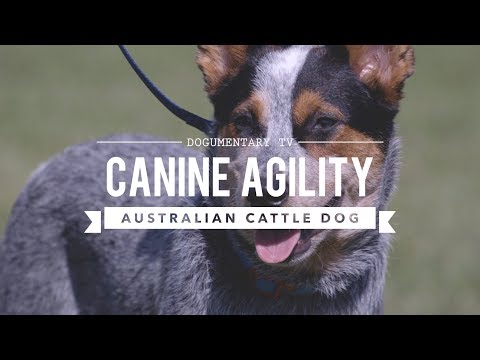 AUSTRALIAN CATTLE DOG: CANINE AGILITY