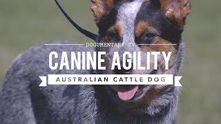 AUSTRALIAN CATTLE DOG: CANINE AGILITY