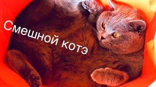 Британский кот и ПРИКОЛ с пакетами/ British cat