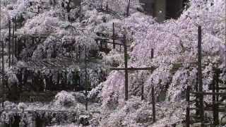 第02回 桜 -シダレザクラ-