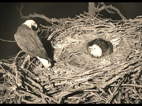 Decorah North Eagles IA  After dark male intruder on nest Mom keeping egg protected PART 1