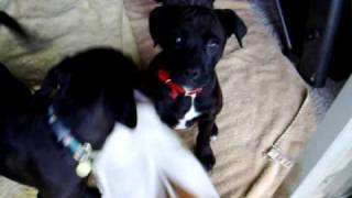 Hughes Dog And Puppy Clan Video Pictures Pomeranian Boxer Lab Terrior Papilion