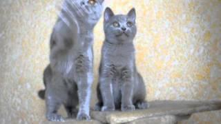 ДЕНДИ BRITISH HOUSE - британский котенок - 3 месяца и 6 дней