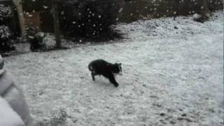 Border Collie puppy playing in the snow