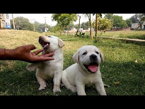Pure white Labrador puppies available 6000 only..with lifetime GUARANTEE of Purity