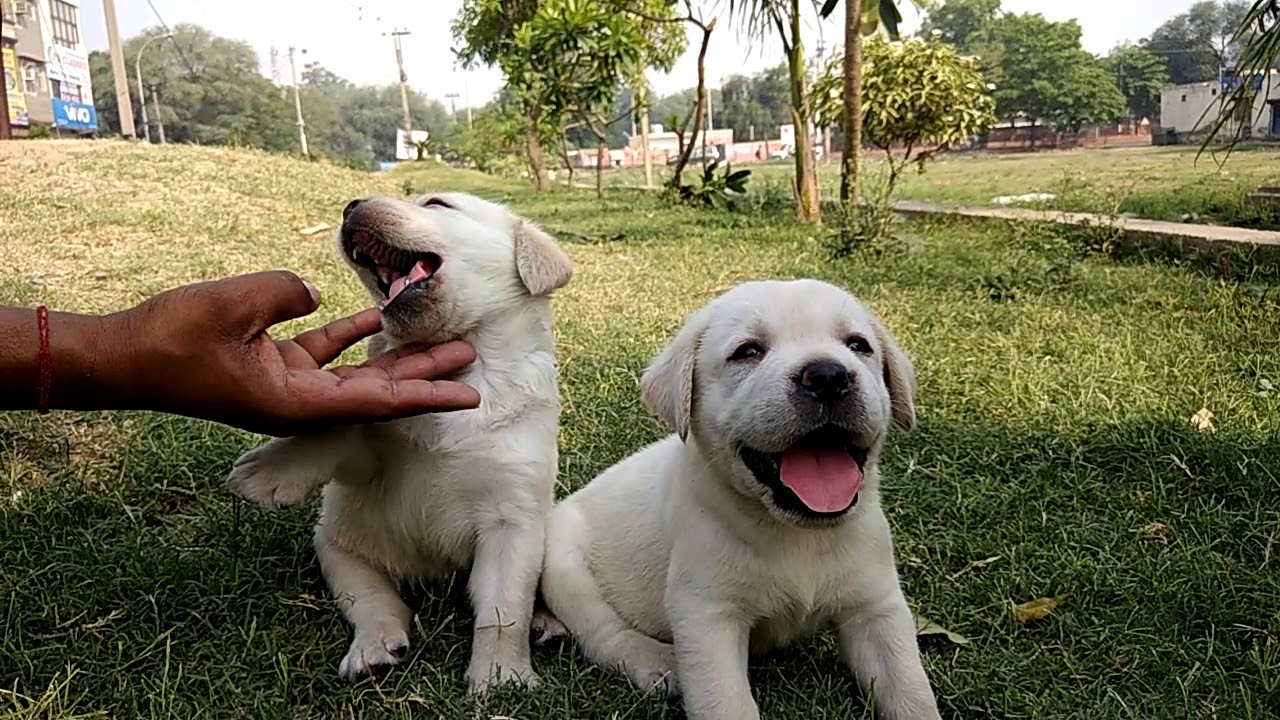 Pure white Labrador puppies on Sale - all about Labrador ...