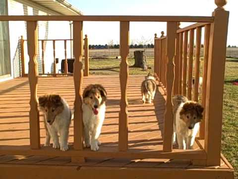 Four Collies Puppies at 9 weeks old