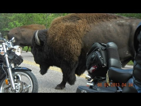 Sturgis 2013 Buffalo Stampede at Custer State Park