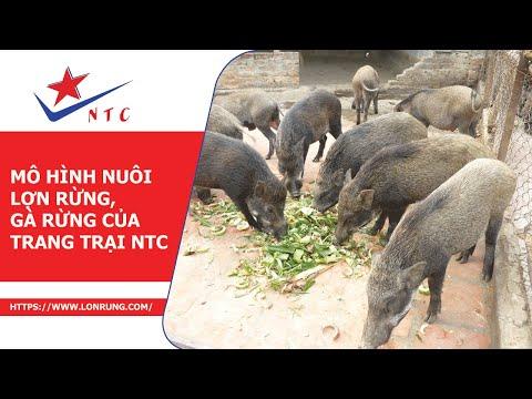 Mô hình nuôi lợn rừng, gà rừng của trang trại NTC
