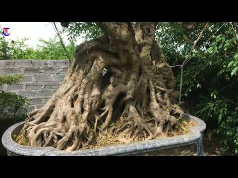 Lướt qua dàn phôi đẹp    Nhà vườn Văn Sỹ - Nam Định (p3)