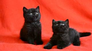 Купить шотландского котенка? Котята для Вас: чистокровные черные шотландские котята.