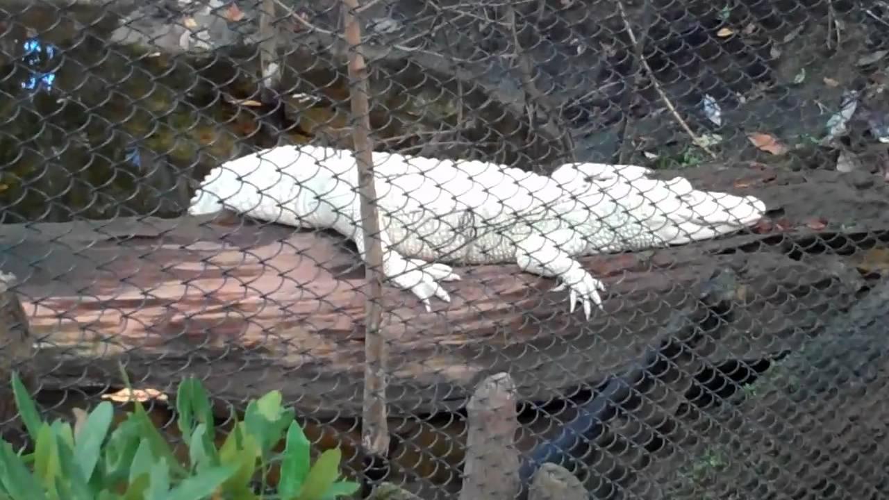 Luna Albino Alligator At Fort Fisher Aquarium Wilmington