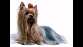 Шелковистый Терьер/Silky Terrier (порода собак HD slide show)!