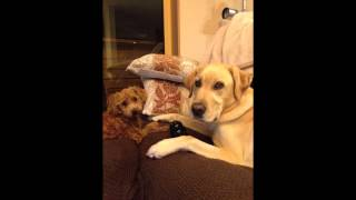 Video- Labrador And Toy Poodle
