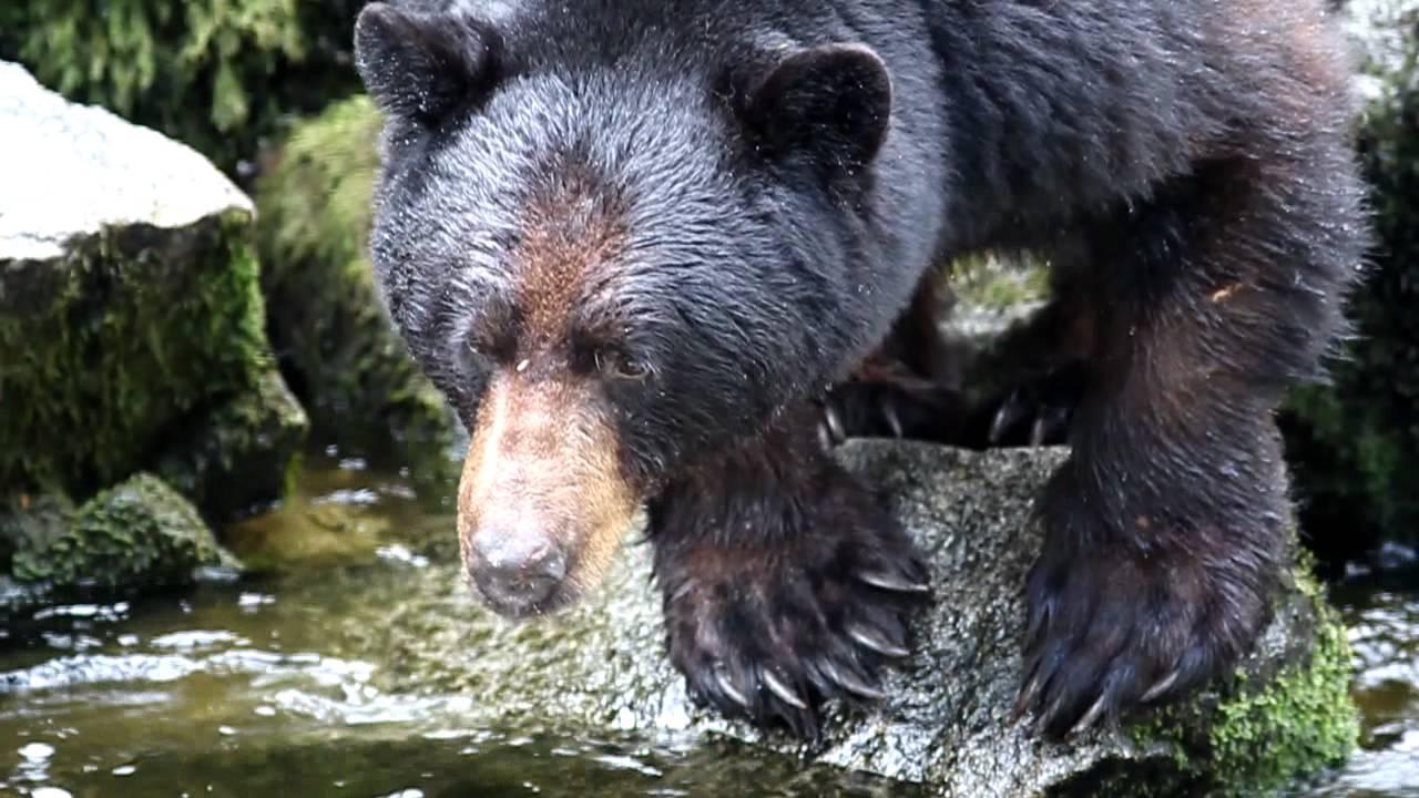 Black bear catching fish at anan creek youtube for Bear catching fish