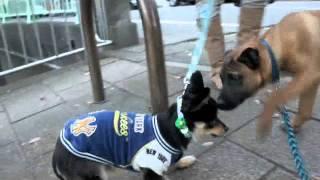屋久島犬パピーゲンジ、ただいま預かり中。お散歩の風景.