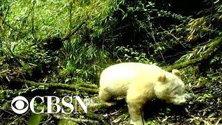 First documented photo of all-white albino panda