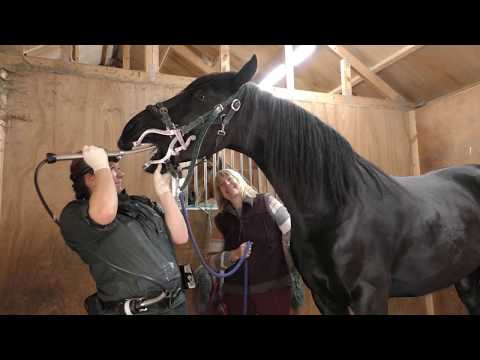 Friesian Horse Apollo has his teeth floated or rasped down.