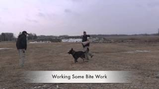 Random Detection/protection Training Clips From Vohne Liche Kennels! Dog Training, Northern Va