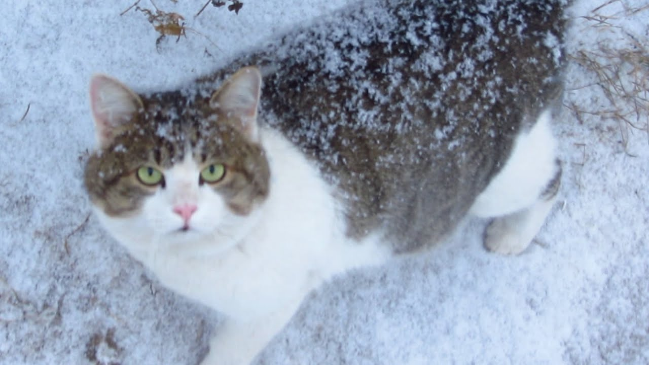 Snow Cat Pictures, Photos, and Images for Facebook, Tumblr ... |Cat Snow Flakes