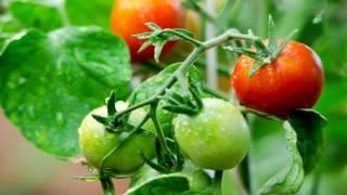 Подкормка томатов, рецепты подкормок на весь дачный сезон