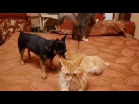 Maine Coon Cat Video – Big Maine Coon vs Little Dog