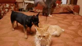 Maine Coon Cat Video - Big Maine Coon vs Little Dog