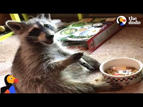 Raccoon Acts Like A Human After Rescued by Kind Woman | The Dodo