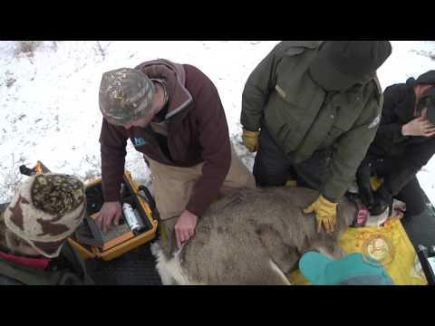 Wyoming Range Mule Deer Project Update